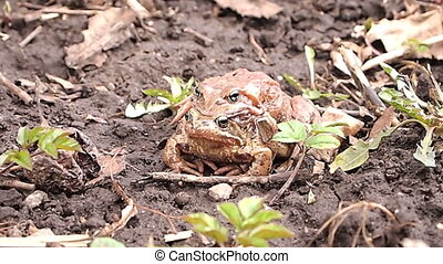 frogs mate