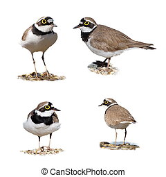 Little Ringed Plover isolated on white background,...