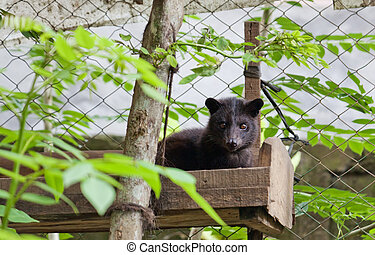 Civet Luvak - an animal making most expensive in world of...