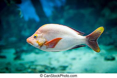 fish - lutjanus gibbus - lutjanus gibbus in an aquarium