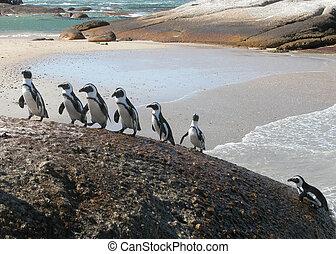Funny Penguins climbing-Spheniscus demersus - Funny...