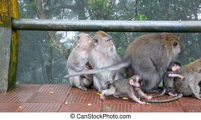 family of wild monkeys on road