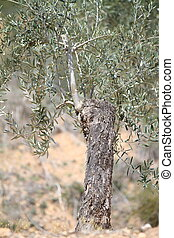 olive tree grafting - isolated olive tree grafting detailed...