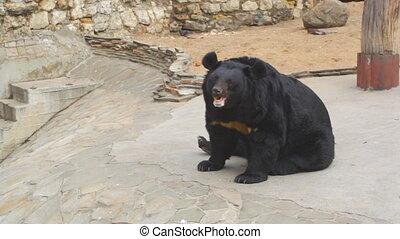 Himalayan black bear in a zoo