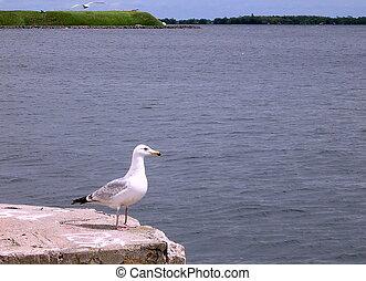 Kingston Lake Ontario Gulls 2008