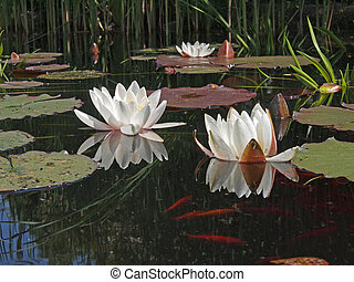 White water lillies in a silent pond