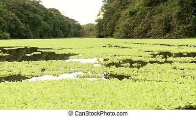 Aquatic Plants, Amazon - Shipping On Amazon River