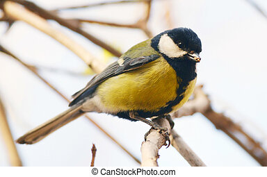 great tit sitting on the branch
