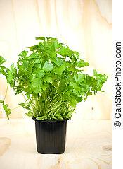 parsley - organic fresh green parsley in a pot