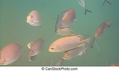 Pink snapper gather together in a large school