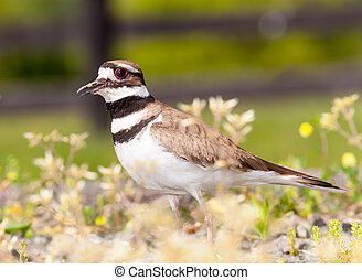 Killdeer bird defending its nest - Close up shot of Killdeer...