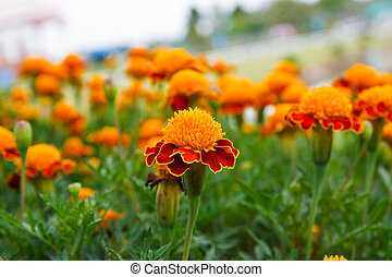 Beautiful Marigolds in garden of thailand