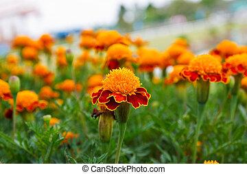 Beautiful Marigolds in garden of thailand