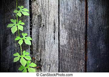 Green Vine cling on old wooden walls