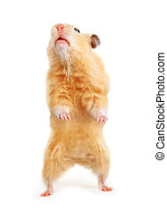 Hamster isolated on the white