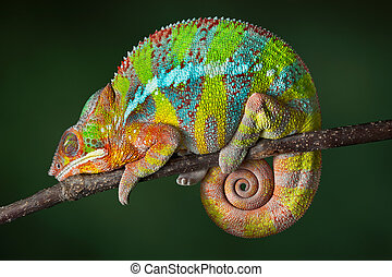 sueño, camaleón