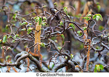 Hazel Catkins - catkins on corkscrew hazel with selective...