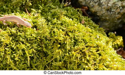 Smooth Newt in spring - Smooth Newt in early spring