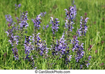 Wild sage - Meadow Sage Salvia pratensis - herbaceous...