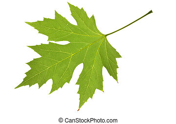 maple leaf - green maple leaf isolated on white