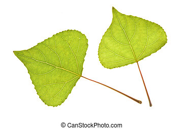 Poplar leaf on isolated - Poplar leaf isolated on the white