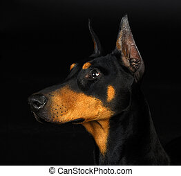 doberman pinscher head profile - female 3 years old
