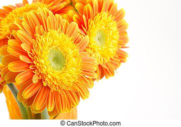 Close up of daisy - Close up of orange african daisy flowers...