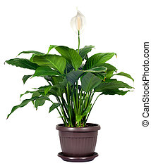 (peace, lily), cserepes növény, -, floribundum,...