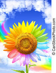 Rainbow - Sunflower, rainbow and frame from white clouds