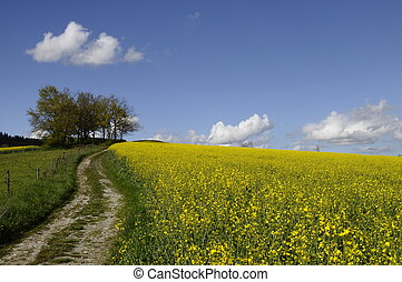 Yellow field of colza flower and tractor tracks under blue...