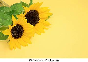 sunflower  - I took two sunflowers in a yellow background.