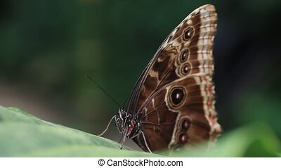 Tropical butterfly morpho (HD) - Tropical butterfly (morpho)...
