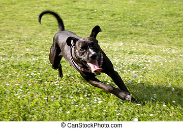 Black Dog Running in Countryside - Large Happy Black Dog...