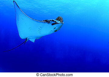 Spotted eagle ray - A huge Caribbean spotted eagle ray...