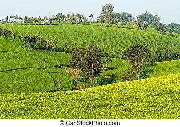 Tea plantation in Kenya - View over tea plantation in Kenya...