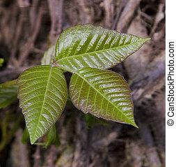 Poison Ivy, Rhus toxicodendron, Tox - A poisonous wild vine...