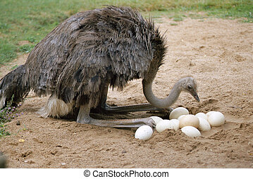 An ostrich and its eggs in its nest - An ostrich returns its...