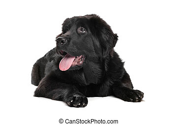 Black Tibetan Mastiff puppy