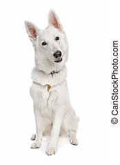 white shepherd dog in front of white background