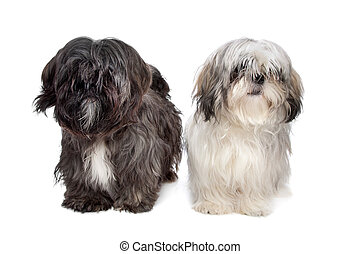 Two Shih tzu dogs in front of a white background