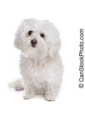 Bolognese dog in front of a white background