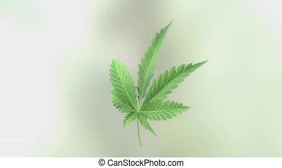 Marijuana leaf rotation - 3D loop-able rotation of marijuana...