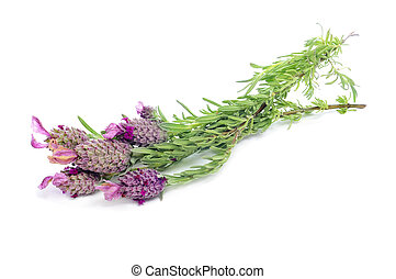 Lavandula stoechas, Spanish lavender - some flowers of...