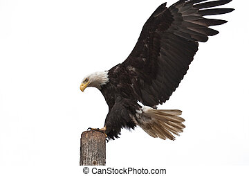 Bald Eagle Landing - Photo of an American Bald Eagle landing...