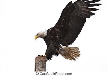Bald Eagle Landing - Photo of an American Bald Eagle landing...