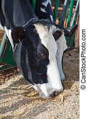 Holstein Cow - A head shot of two holstein cows eating