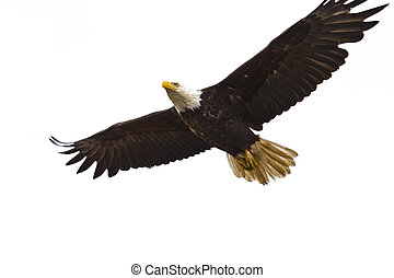 Bald Eagle Flying - Photo of an American Bald Eagle in...