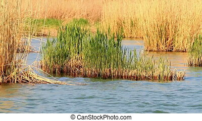 Reed - Young reeds in the water