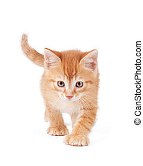 Determined orange kitten walking - Cute orange kitten with...