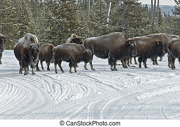 Bison and Snowmobiles, Winter, Yellowstone NP - Bison...